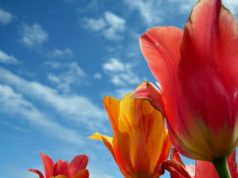 tulips Heavenly Holland