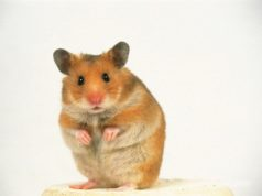 Heavenly Hamster