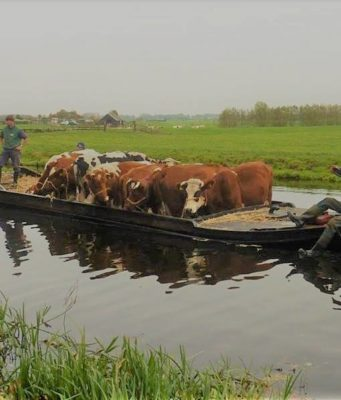 floating cattle