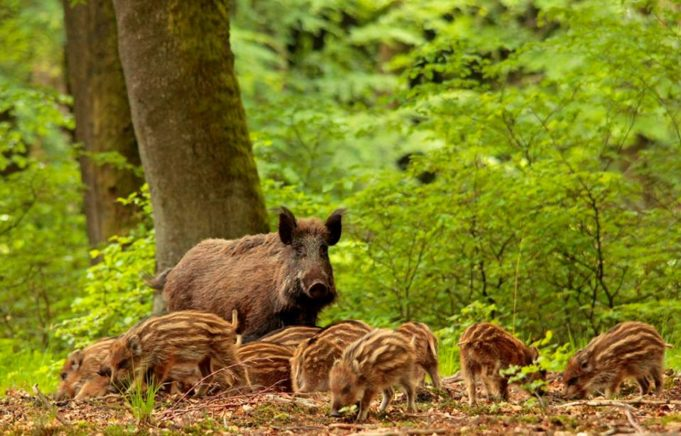 Did you know that the wild boar was officially declared extinct in the Netherlands in 1826 until Prince Hendrik introduced them back into a forest near his residence in 1907? This way he could hunt for wild boars without having to go abroad.