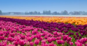 Did you know that Flevoland is the largest flower bulb region in the Netherlands? With more than 3,500 hectares of colorful bulb fields, the Netherlands' youngest province is truly pleasing to the eye. The farming land on the former seabed of the Zuiderzee is among the most fertile land in Europe.