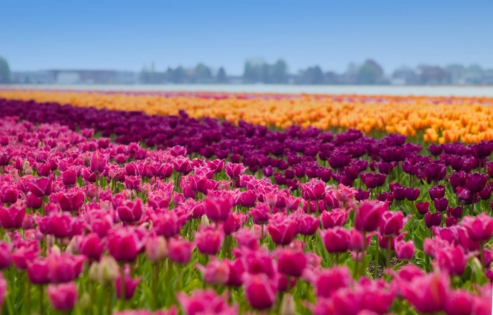Did you know that Flevoland is the largest flower bulb region in the Netherlands? With more than 3,500 hectares of colorful bulb fields, the Netherlands' youngest province is truly pleasing to the eye.The farming land on the former seabed of the Zuiderzee is among the most fertile land in Europe.